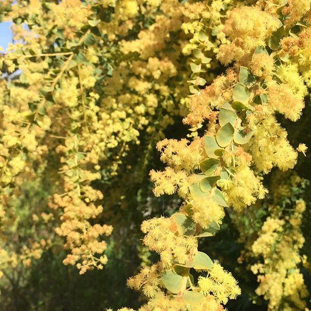 Flower Of Power, Acacia Pravissima