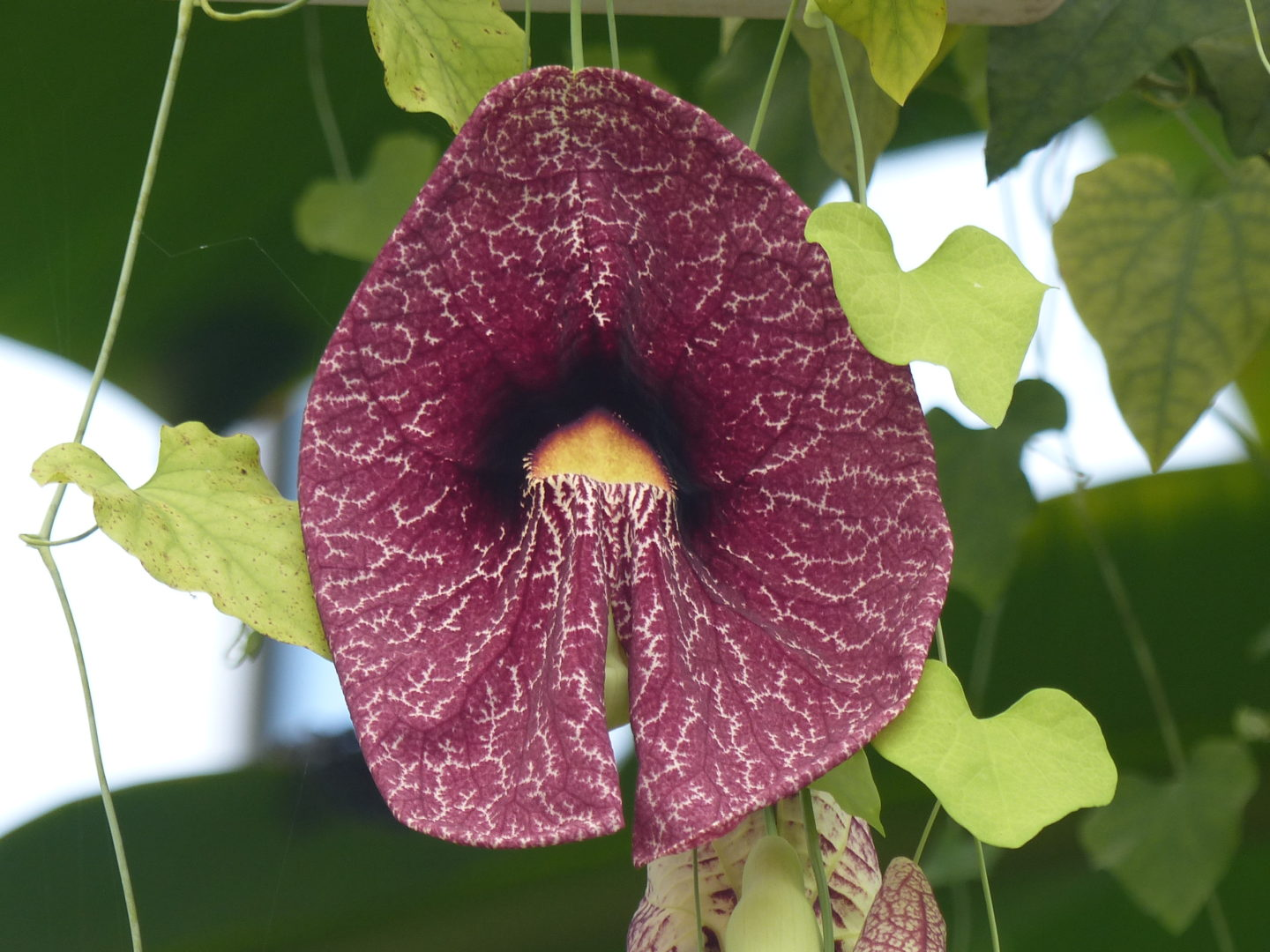 The Brazilian Dutchmanu0027s Pipe, Aristolochia Gigantea, Produces Its  Spectacular But Foul Smelling Flowers From Vines Clambering Around The  Superstructure ...