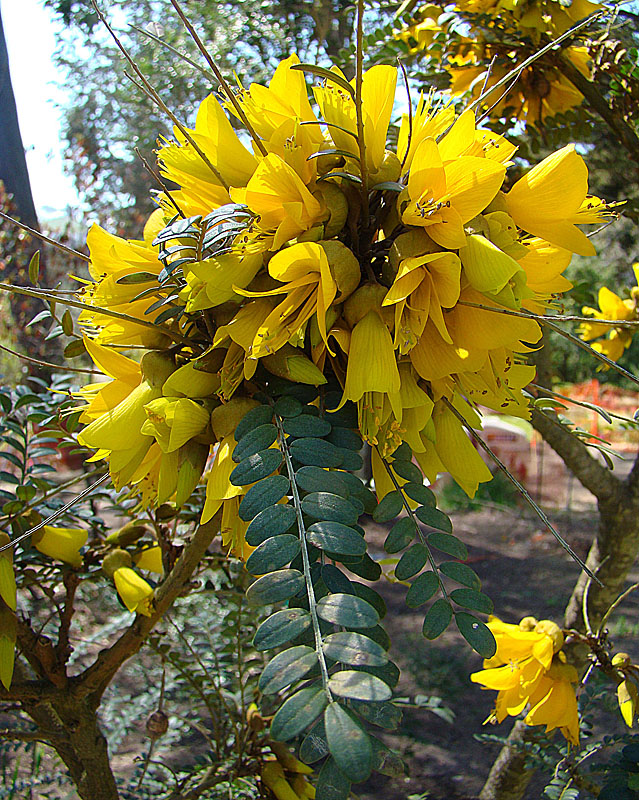 Sophora microphylla ventnor botanic garden sophora microphylla mightylinksfo